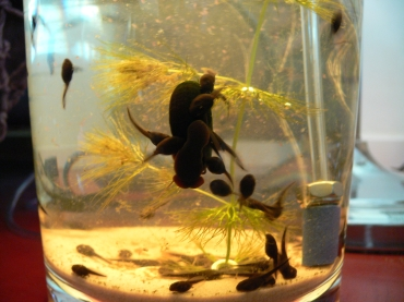 tadpoles (110k image)